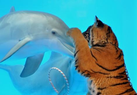 FOTO! Un pui de tigru s-a imprietenit cu doi delfini