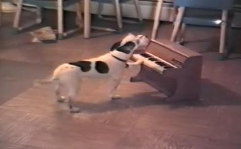 VIDEO! Vezi cainele care canta la pian!
