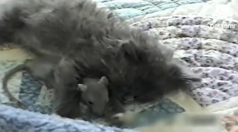 VIDEO! Un soricel si o pisicuta dorm impreuna