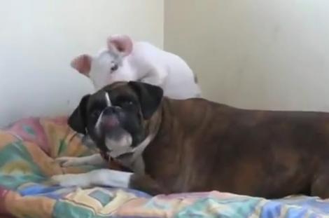 VIDEO! Un caine si un porcusor sunt cei mai buni prieteni
