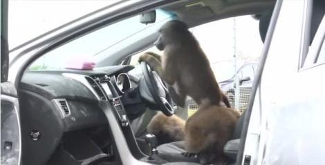 VIDEO! Rezistenta noului Hyundai i30 a fost testata cu 40 de babuini