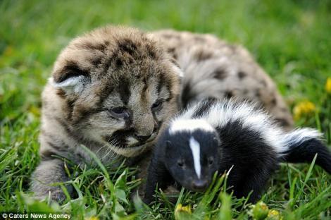 FOTO! Emotionant: Prietenie intre doi pui de leu si un sconcs