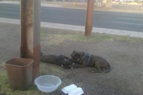 Un pitbull a vegheat 14 ore o catelusa moarta