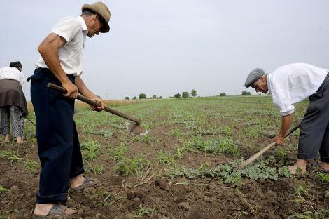 Suceava: Seceta a afectat grav peste 50% din productia agricola