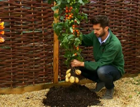 TomTato, planta care face rosii si cartofi pe acelasi vrej, a fost scoasa la vanzare in Marea Britanie!