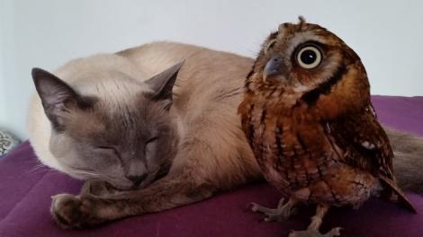 FOTO: În lumea necuvântătoarelor NU EXISTĂ reguli! O pisică şi o bufniţă sunt cele mai bune prietene!
