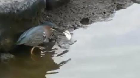 VIDEO! Această pasăre știe să pescuiască