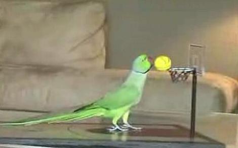 Uimior! Un papagal joacă bascket şi golf