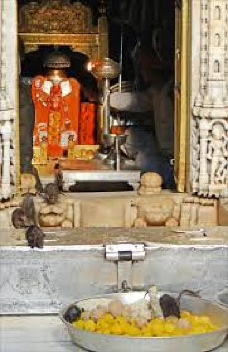 Templul indian în care 20.000 de şobolanii sunt veneraţi, hrăniţi şi protejaţi