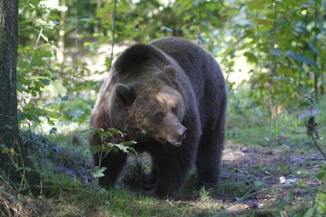 Ursul Baloo, serbat la baza pârtiei din Straja