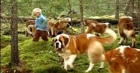 VIDEO! La plimbare cu 45 de câini din rasa Saint Bernard