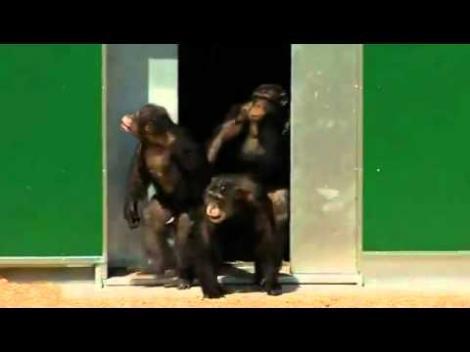 Emoţionant! După 30 de ani de captivitate, maimuţele văd lumina soarelui