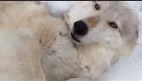 Un lup fioros, îmblânzit cu o mângâiere pe burtică