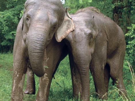 Înduioșător! Acești elefanți s-au reunit după 20 de ani