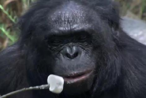 Cea mai inteligentă gorilă: face focul şi coace bezele
