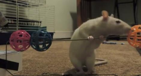 Uimitor! Iată cât de inteligenţi sunt şobolanii şi cum pot fi dresaţi