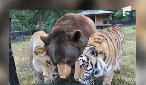 Un tigru, un leu și un urs formează cea mai tare gașcă de prieteni