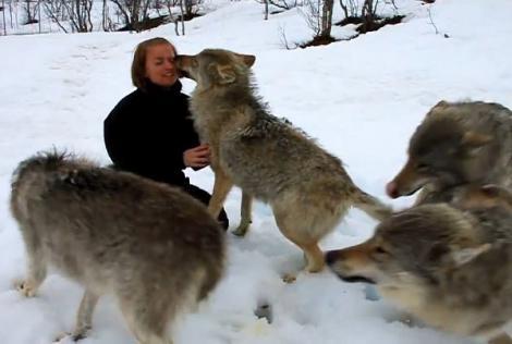 Video! O reuniune incredibilă dintre o haită de lupi și o femeie