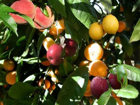 INCREDIBIL! Copacul în care cresc 40 de fructe DIFERITE