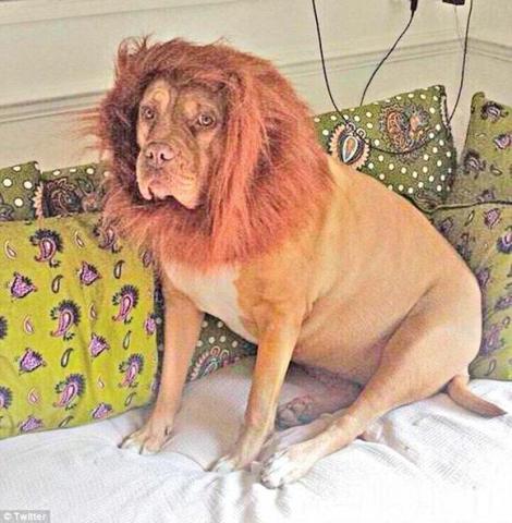 Vezi și nu poți să crezi! Şi-a transformat câinele în LEU să-l scape de hoţi