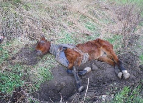 FOTO: L-au găsit mai mult MORT decât VIU, dar au reușit IMPOSIBILUL! Calul acesta sigur te va EMOȚIONA