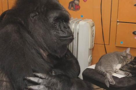 """FOTO: Gest emoţionant făcut de o gorilă! Nu a avut niciodată pui, dar acum i s-a îndeplini visul de a fi """"mamă""""! A adoptat două pisici"""