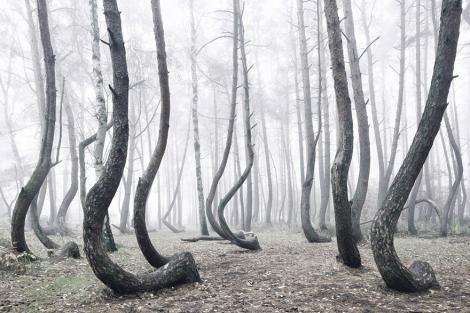 FOTO: Îţi dă fiori! Misterioasa pădure, în care arborii au crescut curbaţi! De ce sute de copaci au o formă atât de ciudată
