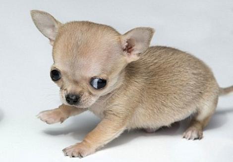 Cum arată cel mai mic căţel din lume! Are ŞAPTE centimetri, iar unii spun că seamănă cu un HAMSTER! FOTO INCREDIBIL