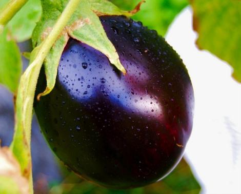 S-a inventat planta ce produce vinete și cartofi în același timp!