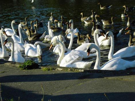 """""""Lacul lebedelor"""" chiar există în România! Lângă Deva, înaripatele împart luciul apei şi cu raţe sălbatice"""