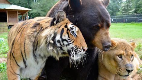 Cartea Junglei a zilelor noastre. O prietenie care sfidează legile firii: Baloo, Leo și Shere Khan