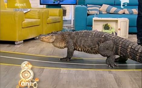"""""""Băi, e viu, se mișcăăă!"""" Răzvan, gata să plece din emisiune! Un crocodil de la circ, liber în platoul de la """"Neatza""""!"""