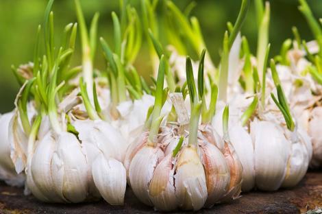 Ce se întâmplă dacă arunci usturoiul încolțit la gunoi? Vei avea o mare surpriză! Sigur nu vei mai face greșeala asta