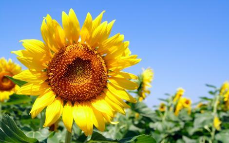 Cum se rotește floarea-soarelui după... Soare? Cercetători au explicat totul, pas cu pas