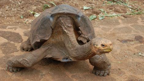 Diego, țestoasa sex-simbol care și-a salvat specia de la extincție. Are peste 100 de ani, 800 de pui și face fericite șase femele pe zi. Se pare că nu stă degeaba!