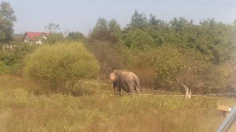 Un elefant a fugit de la un circ din Râmnicu Vâlcea, fiind capturat de pe un deal din oraş şi dus înapoi