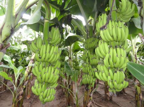 """Alertă în toată lumea! Bananele, unele dintre fructele preferate ale românilor, au fost infectate cu o bacterie: """"Producția mondială este în pericol!"""""""