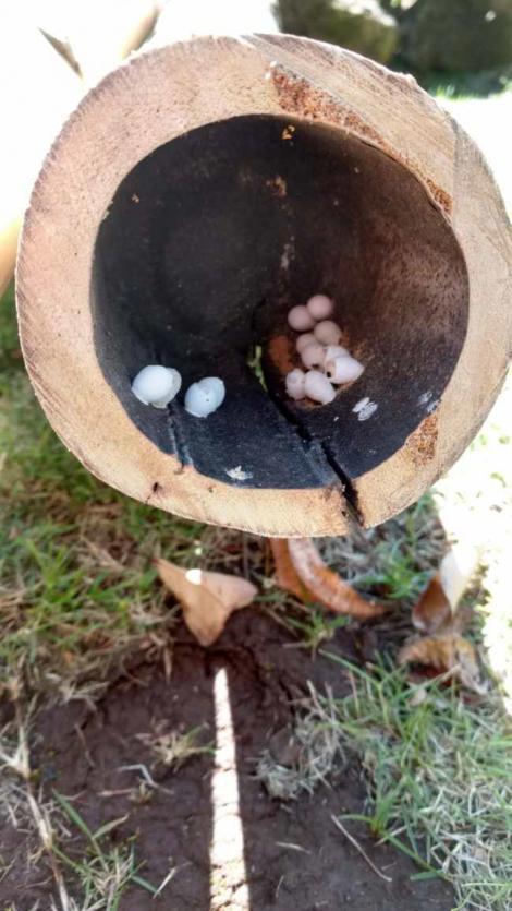 Un bărbat făcea curat în grădină atunci când a dat peste niște ouă stranii! Ce minune se ascundea înăuntru?