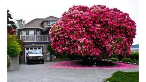 """Oare despre el o fi cântat Șeicaru în """"Copacul îndrăgostit""""? Fotografia unui rododendron uriaş, supranumit """"Lady Cynthia"""", a devenit virală"""