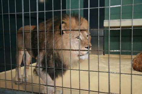 Un câine curios s-a strecurat în cușca unui leu fioros și lumea a așteptat cu groază deznodământul! Doar că surpriza a fost uriașă! Ce au făcut animalele