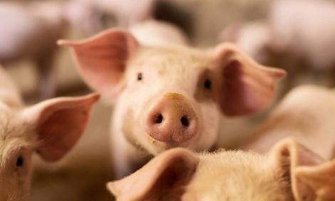 GRAV! Numărul focarelor de pestă porcină a fost DEZVĂLUIT. În câte localități face ravagii virusul