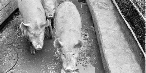 Situație disperată pentru autorități contra pestei porcine! Sătenii speriații ascund porcii vii chiar și în cimitire ca să scape de ochii controalelor.
