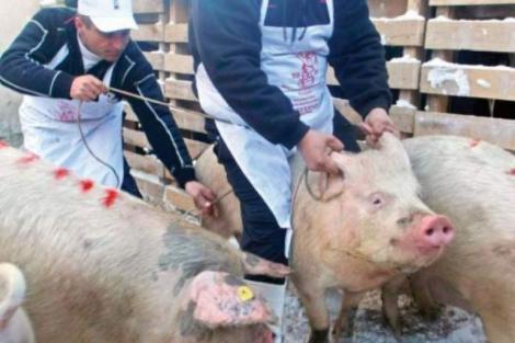 Pesta porcină face ravagii înainte de Crăciun! Județul în care mii de animale vor fi eutanasiate