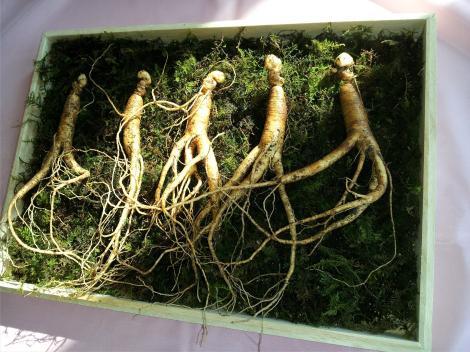 Ginsengul siberian, aurul din Est. Tot ce nu știai despre planta minune