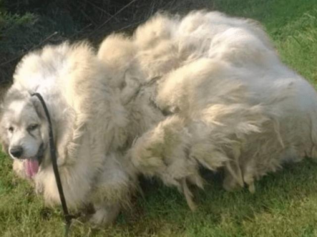 Un câine a ajuns să aibă 15 kilograme de blană! Cum arată acum, după ce s-a întâmplat o minune