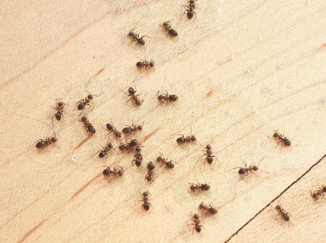 Atenție la aceste furnici! Sunt extrem de periculoase dacă le găsești!
