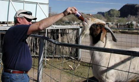 Oamenii dintr-un sat și-au ales ca primar...o capră cu puteri speciale!