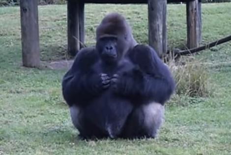 INCREDIBIL! O gorilă uriașă de la o grădină zoologică a folosit limbajul semnelor pentru a le spune ceva vizitatorilor! Ce le-a transmis. VIDEO