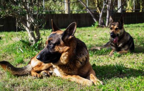 Îți dorești un câine ciobănesc german? Vezi dacă este potrivit pentru tine!