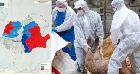"""Care este planul autorităților? """"Este cea mai gravă boală a animalelor de după al Doilea Război Mondial""""- 781 de focare de pestă porcină, 120.000 de animale sacrificate"""